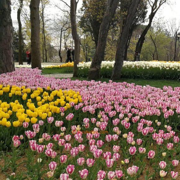 2019年イスタンブール エミルガン公園のチューリップ